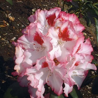 Großblumige Rhododendron Hachmanns Charmants® 40-50cm - Alpenrose