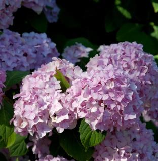 Teller Hortensie Preziosa 25-30cm - Hydrangea serrata