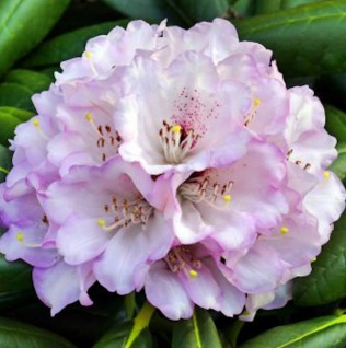 Indische Wild Rhododendron 40-50cm - Rhododendron rex