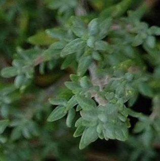 Echter Thymian Fleur Provencale - Thymus vulgaris