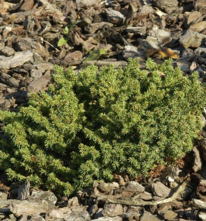 Nestfichte Kissenfichte Little Gem 10-15cm - Picea abies