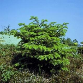 Griechische Zwerg Tanne Meyers Dwarf 40-50cm - Abies cephalonica