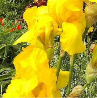 Schwertlilie Berkley Gold - Iris barbata