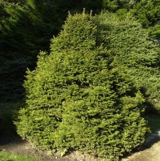 Gnomfichte 40-50cm - Picea abies