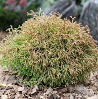 Lebensbaum Golden Tuffet 15-20cm - Thuja occidentalis