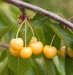 Süßkirsche Dönissens Gelbe Knorpel 60-80cm - gelbe süße Früchte