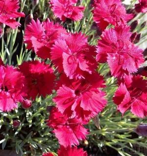 Pfingstnelke Badenia - Dianthus gratianopolitanus