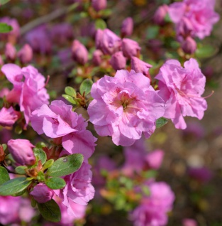Japanische Azalee Thekla 30-40cm - Rhododendron obtusum - Zwerg Alpenrose