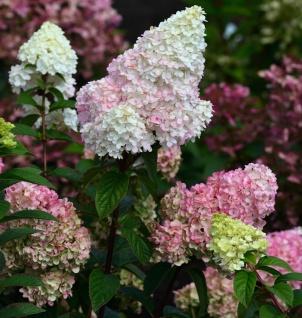 Rispenhortensie Strawberry Blossom®80-100cm - Hydrangea paniculata