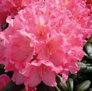 Hochstamm Rhododendron Polaris 80-100cm - Alpenrose