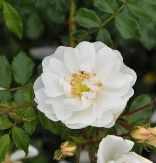 Hochstamm Rose Diamant® 80-100cm