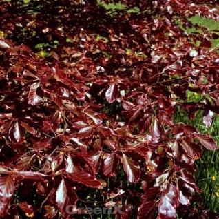 Rotlaubige Buche Long Red 30-40cm - Fagus sylvatica