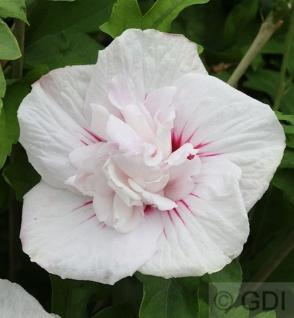 Garteneibisch China Chiffon 40-60cm - Hibiscus