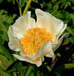 Edelpfingstrose Starlight - Paeonia lactiflora