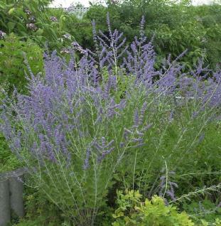 Blauraute Blue Spire 30-40cm - Perovskia atriplicifolia