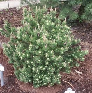 Strauchkiefer Laurin 25-30cm - Pinus mugo