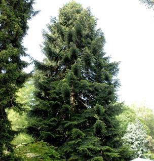 Nordmannstanne 40-60cm - Abies nordmanniana