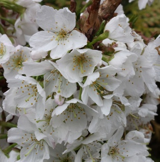 Hochstamm Kurilenkirsche Brillant 125-150cm - Prunus kurilensis