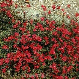 Blutnelke - Dianthus cruentus