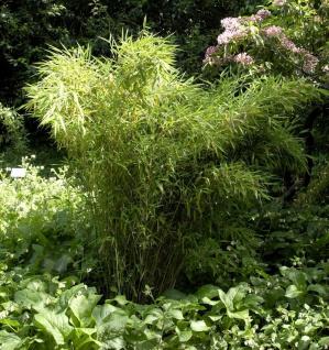Gartenbambus Standing Stone 40-60cm - Fargesia murielae