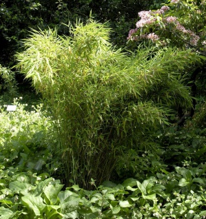 Gartenbambus Standing Stone 80-100cm - Fargesia murielae