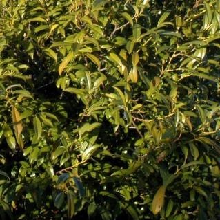 Hochstamm Lorbeerkirsche Sofia® 80-100cm - Prunus laurocerasus