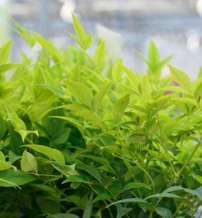 Himmelsbambus Lemon Lime® 60-80cm - Nandina domestica