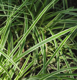 Immergrüne Japan Segge Vanilla Ice - großer Topf - Carex morrowii