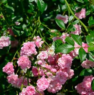 Hochstamm Rose The Fairy 80-100cm