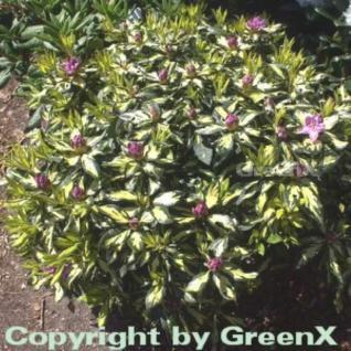 Großblumige Rhododendron Blattgold 40-50cm - Alpenrose