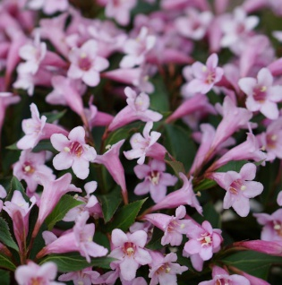 Weigelie Pink Poppet 25-30cm - Weigela florida