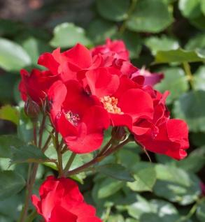 Floribundarose Lampion 30-60cm