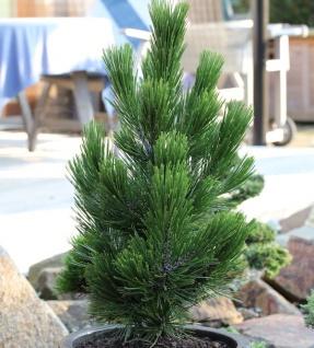 Zwerg Schlangenhautkiefer Little Dracula 25-30cm - Pinus leucodermis