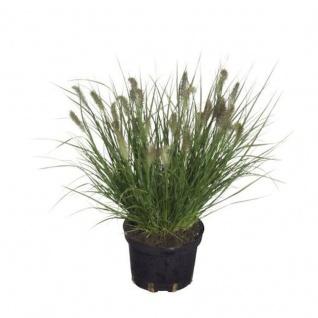 Lampenputzergras Cassian - großer Topf - Pennisetum alopecuroides
