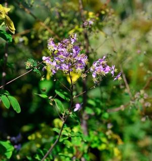Prächtige Wiesenraute - Thalictrum rochebrunianum