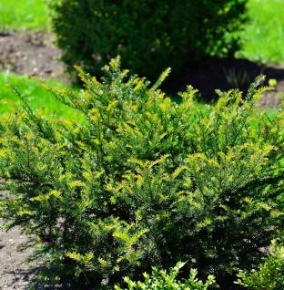 Eibe Kleiner Grüner® 25-30cm - Taxus baccata