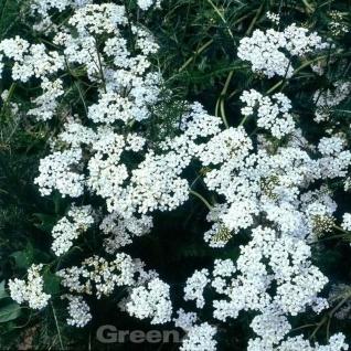 Schafgarbe Alabaster - Achillea millefolium