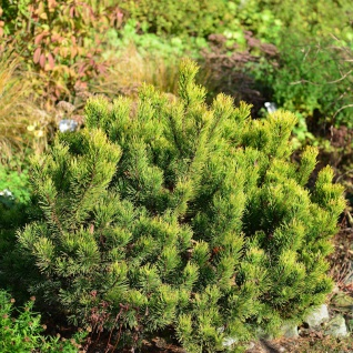 Gelbe Zwergkiefer Ophir 40-50cm - Pinus mugo