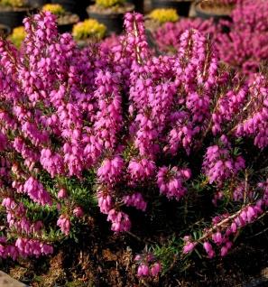 10x Winterheide Mojave - Erica carnea