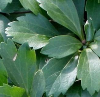 10x Schattengrün Dickmännchen Compacta - Pachysandra terminalis