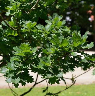 Kompakte Stiel Eiche 30-40cm - Quercus robur