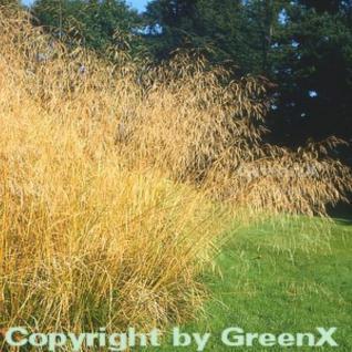 Waldschmiele Bronzeschleier - Deschampsia