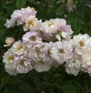 Historische Rose Cornelia 30-60cm