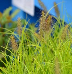 Lampenputzergras Hameln Gold® - großer Topf - Pennisetum alopecuroides