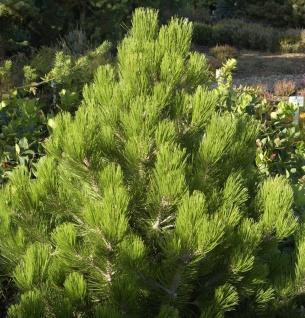 Zwerg Schlangenhautkiefer Zwerg Panzerkiefer 25-30cm - Pinus heldreichii Compact Gem