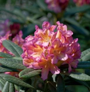 Großblumige Rhododendron Pivoine 25-30cm - Alpenrose