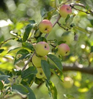 Apfelbaum Grahams Jubiläum 60-80cm - süßsäuerlich