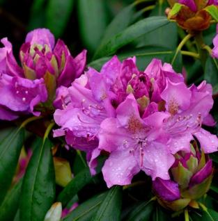 Großblumige Rhododendron Roseum Elegans 50-60cm - Alpenrose
