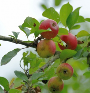 Apfelbaum Holländer Prinz 60-80cm - knackig und süß