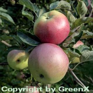 Apfelbaum Ontario 60-80cm - ein Lagerapfel